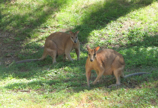 Garden visitors - two of the young male wallabies.