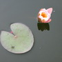Water Striders...and nymphaea