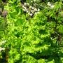 leaf lettuce spirals...