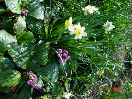 Daffodil3 + Bergenia