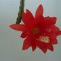 Orchid cactus...epiphyllum.