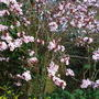 Prunus cerasifera pissardii (Prunus cerasifera pissardii)