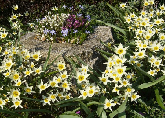 SUNNY SMILES from Tulipa turkestanica and Chionodoxa, with white and purple heathers.