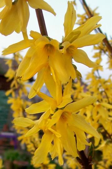 Forsythia - close up (Forsythia x intermedia)