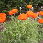 poppys
