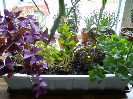 Oxalis Planter