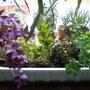 Oxalis_planter_001
