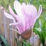 My first Magnolia Flower (Magnolia stellata (Star magnolia))