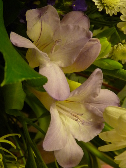 Spring Freesias (Freesia)