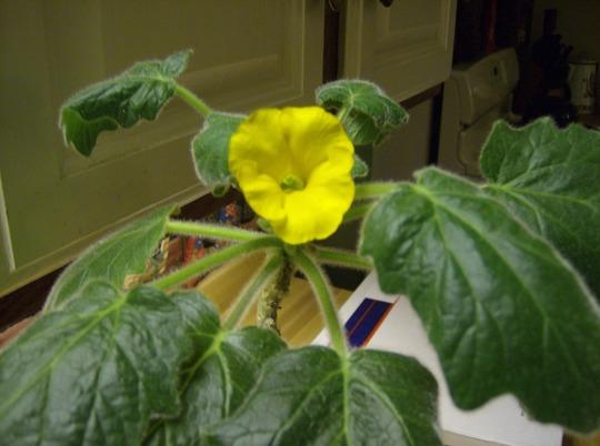 Caudiciform Flower
