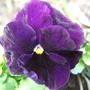 A more modest Pansy!