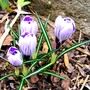 Crocus Vernus (Crocus vernus (Dutch crocus))