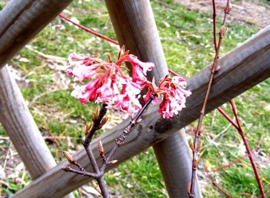 Vibernum tinus (Viburnum bodnantese)