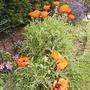 more poppys