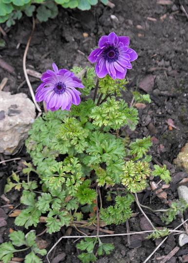 Anemones (Anemone coronaria (Poppy anemone))