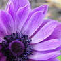 Anemone (Anemone coronaria (Poppy anemone))