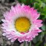Bellis Daisy  (Bellis perennis)