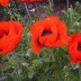 close up poppys