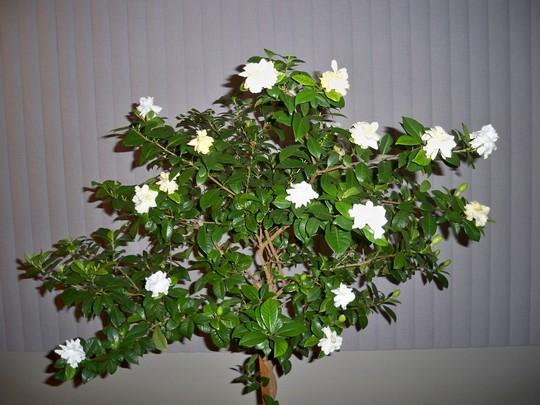 jasmine gardinia key word mine!!!!!!!!! lol (Gardenia jasminoides (Cape jasmine))