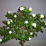 Gardenia jasminoides (Cape jasmine)
