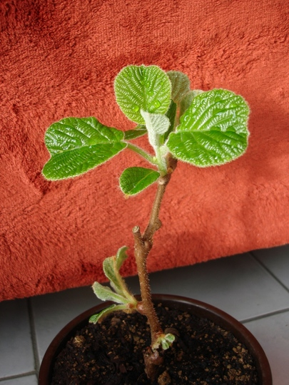 Shooky in the 7th day of his replanting (Actinidia deliciosa (Kiwi fruit))