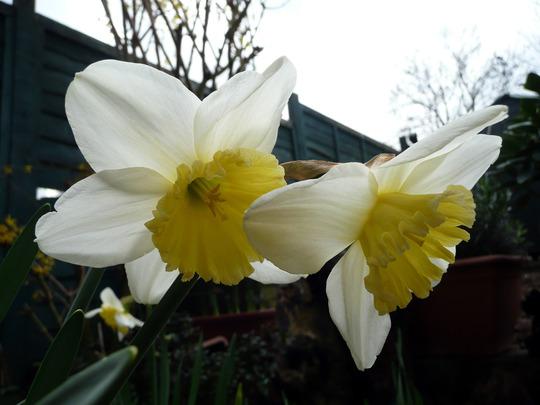 Daffodils Ice Follie