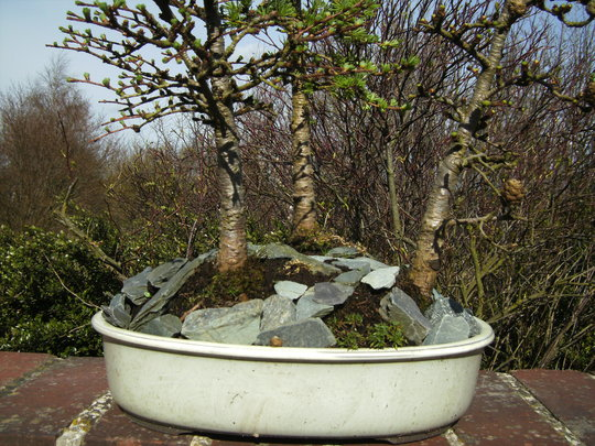 Bonsai Larch Group (Larix kaempferi (Japanese larch))