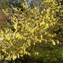 Mystery bush at Tregothnan
