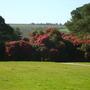 Camellias at Tregothnan.