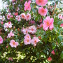 My favourite camellia