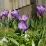 My small patch of crocuses