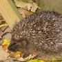 Hedgehog_011