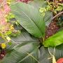 "Spathiphyllum, ""Sensation"" - Peace Lily"