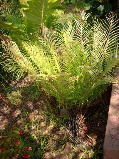 Blechnum gibbum - Dwarf Tree Fern (Blechnum gibbum - Dwarf Tree Fern)
