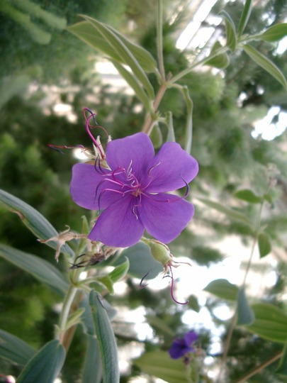 Glory Bush (Tibouchina urvilleana)