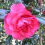 Camellia_red_2009