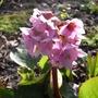 Bergenia_cordifolia
