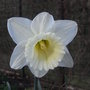 Narcissus_ice_follies_