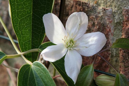 1st bloom - Clematis Armandii (Clematis armandii)