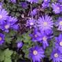 "Anemone blanda ""atrocaerulea"" (Anemone blanda (Anemone))"