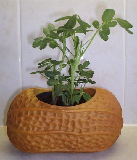 Peanut Plant (Arachis hypogaea) - a present from my Dad.