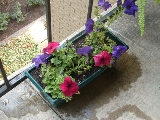 "Burgundy and ""Dreams Midnight"" petunias. (Petunia x hybrida)"