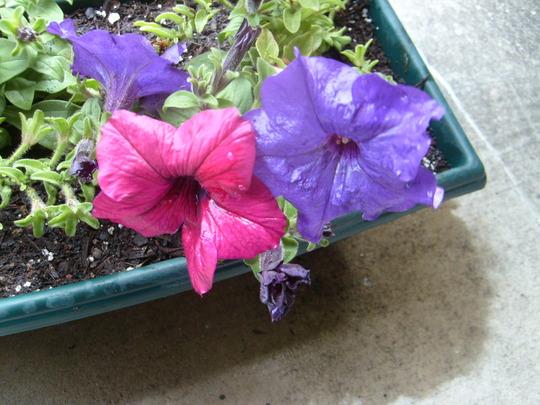 Close-up of the petunias. (Petunia x hybrida)