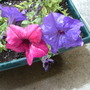 Close-up of the petunias. (Petunia x hybrida)