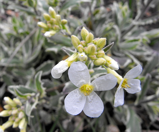 Varigated White Rock Cress Flowers (Arabis caucasica (Arabis compinkie))
