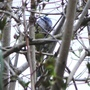 Bluetit_with_nesting_material_26_03_09