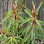 """Euphorbia   """"Griffithii Fire Glow """" (Euphorbia griffithii (Spurge))"""
