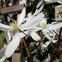 sunshine between rainstorms (Clematis armandii)