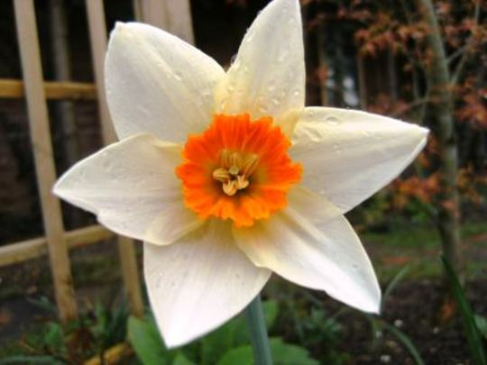 Woodland star? (Narcissus)