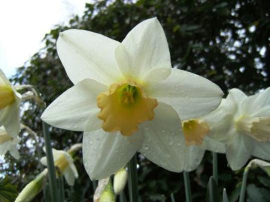Salome (Narcissus)